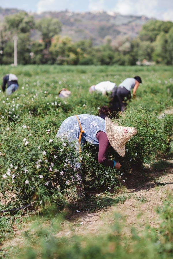 Сборщицы жасмина на полях